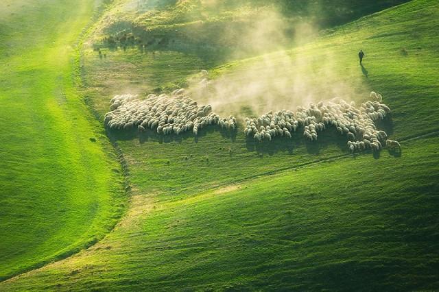 托斯卡纳羊群